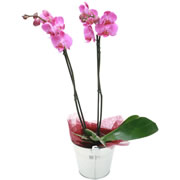 ORCHIDEE-PARME_962_180